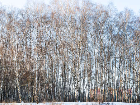 birch grove on shore of frozen pond in city park on sunny winter day