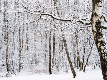 snow-covered birch grove in snowy city park on overcast winter day