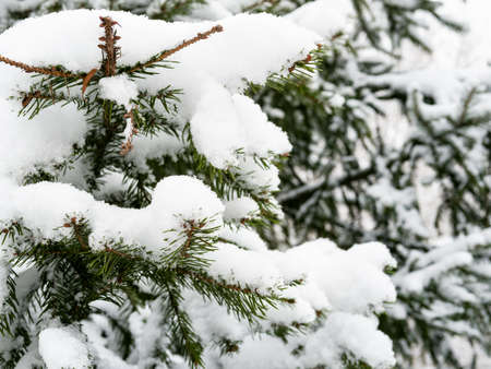 snow-covered branch of fir tree close up on overcast winter day (focus on the twig in foreground) Stock fotó