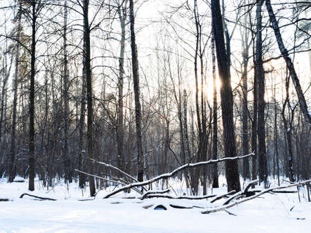 low sun illuminates bare trees near snow-covered clearing in city park in winter