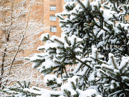 snowy natural blue spruce and high-rise brick apartment house on background in city on overcast winter day Stock fotó