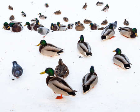 many ducks, drakes and pigeons on banks of snow-covered and frozen river in city park in winter twilight
