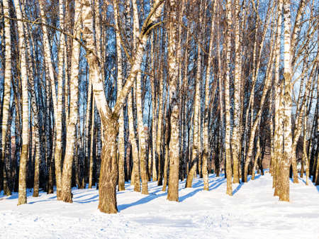 birch grove lit by sun in snow-covered city park on sunny winter day