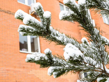 snow-covered branch of fir tree close up in front of urban brick house on overcast winter day (focus on the twig in foreground)