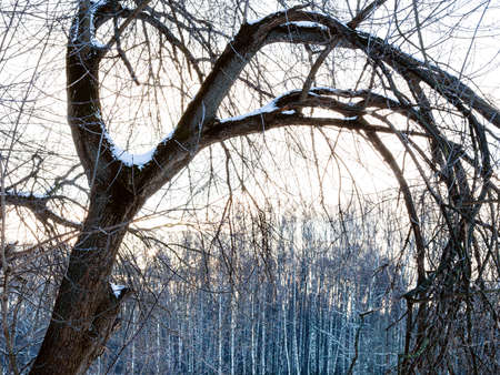 bended bare willow tree and birch grove on background in city park in winter twilight Stock fotó