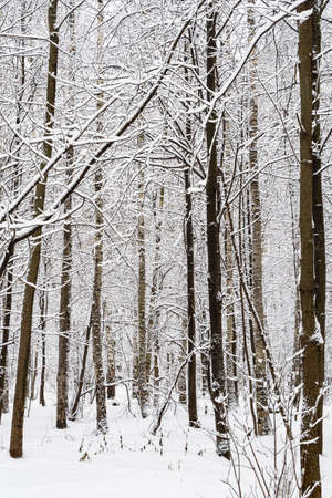 bare tree trunks in snowy city park on overcast winter day