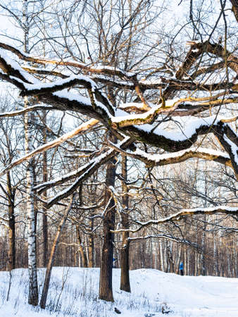 bare oak limbs and snow-covered hill in city park in sunny winter morning Stock fotó