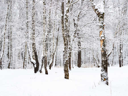 birch and oak trees in snowy city park on overcast winter day Stock fotó