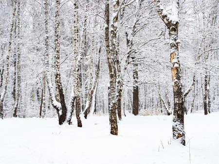 birch and oak trees in snowy city park on overcast winter day Reklamní fotografie