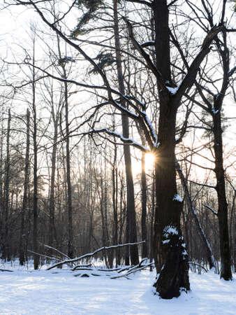 low sun illuminates oak tree at snowbound meadow in city park in winter