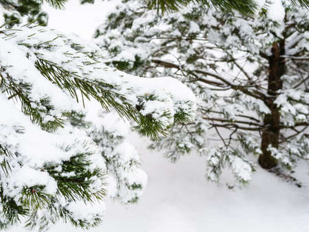 snow-covered branch of pine tree close up on overcast winter day (focus on the twig in foreground)