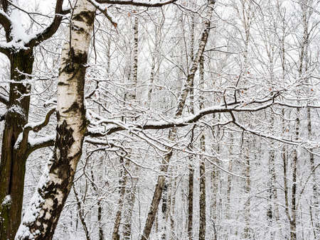 snow-covered birch and oak trunks and birch grove on background in city park on overcast winter day Stock fotó