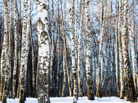 white bare birch trees in snow-covered city park on sunny winter day