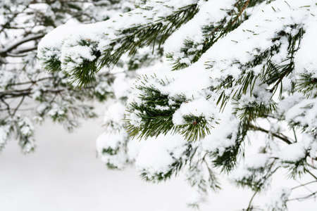 snowbound branch of pine tree close up on overcast winter day (focus on the twig in foreground) Stock fotó