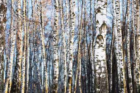 white bare birch trees in city park on sunny winter day