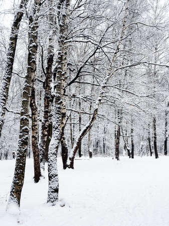 snow-covered meadow and birch trees in snowy city park on overcast winter day Reklamní fotografie