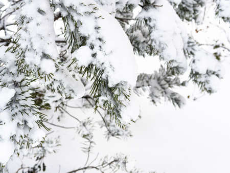 snow-covered branch of spruce tree close up on overcast winter day (focus on the twig in foreground)