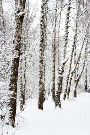 birch trees at clearing in snowy city park on overcast winter day