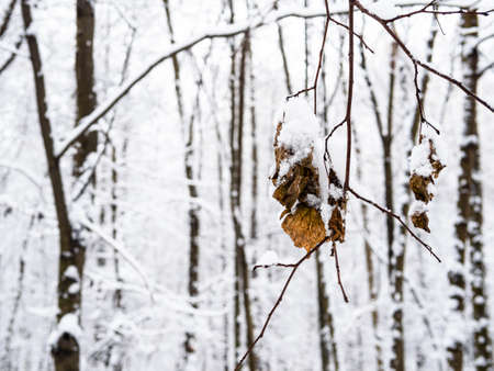 dried leaves covered by snow on twigs close up in city park on overcast winter day (focus on the leaves on foreground)