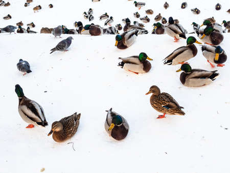 flock of ducks, drakes and pigeons on banks of snow-covered and frozen river iin city park n winter twilight