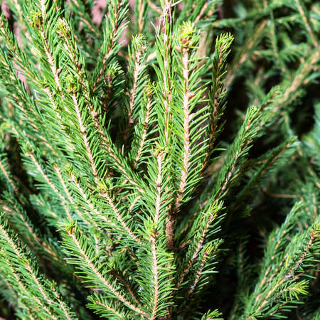 natural square background - green branch of fresh spruce tree close up indoor