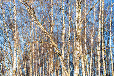 bare birch trees illuminated by sun in city park on sunny winter day