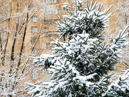 snowbound natural blue spruce and high-rise brick apartment house on background in city on overcast winter day Reklamní fotografie