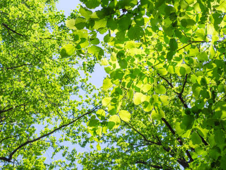 bottom view of green tree leaves illuminated by sun in forest on sunny summer day