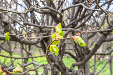 first green leaves on branches of tree in city park in spring (focus on the leaves on foreground)