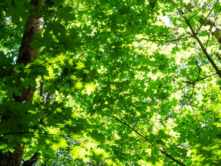 bottom view of green maple foliage illuminated by sun in forest on sunny summer day