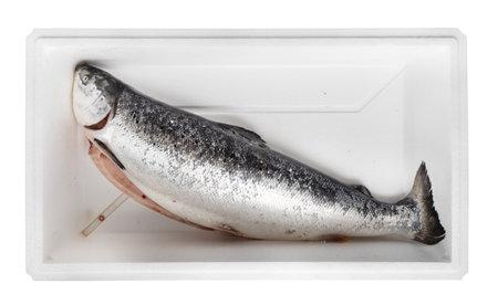 fresh gutted raw Faroe islands Atlantic salmon in foam box cutout on white background Stock fotó