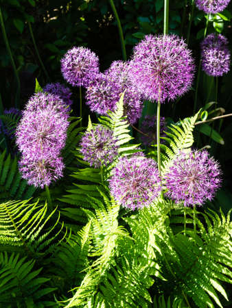 bush of blossoming ornamental allium plant on sunny summer day (focus on the allium flower on top of foreground)