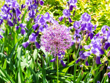 purple bloom of ornamental allium plant and violet irises in flower bed on background on sunny summer day (focus on the allium flower on foreground)