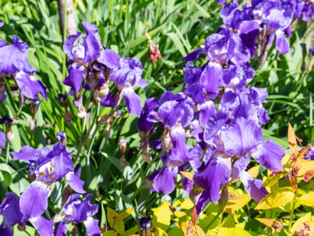 violet irises in flower bed closeup on sunny summer day (focus on the bloom on foreground) Stock fotó