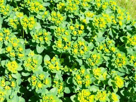 flowering Euphorbia epithymoides (cushion spurge) plant on sunny summer day