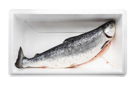 chilled and gutted raw Faroe islands salmon in foam box cutout on white background