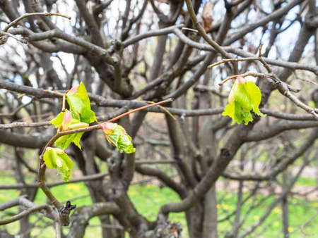 young green leaves on twig of tree in city park in spring (focus on the leaves on foreground)