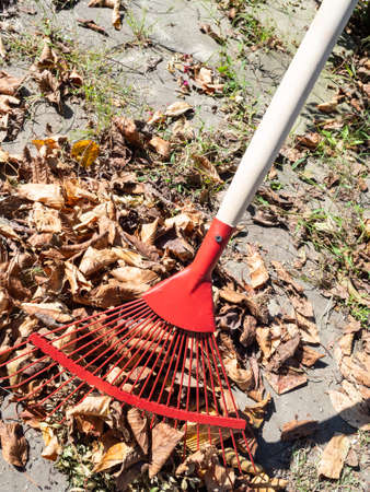 gathering fallen leaves with leaf rake outdoors on sunny autumn day Stok Fotoğraf