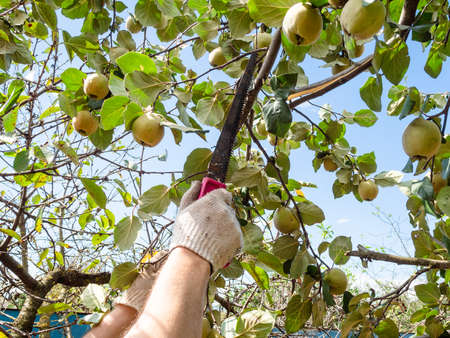 man saws a quince tree branch with a hand saw in home garden on sunny day