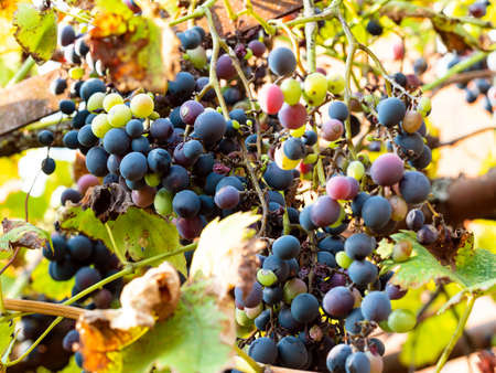 bunch of ripe black grapes closeup on vineyard in backyard in autumn