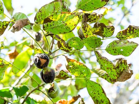 twigs of walnut-tree with ripe Walnuts inside green husk in autumn Stok Fotoğraf