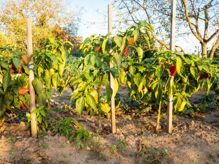 bushes of bell peppers tied to wooden stakes illuminated by sunset sun in home garden in autumn