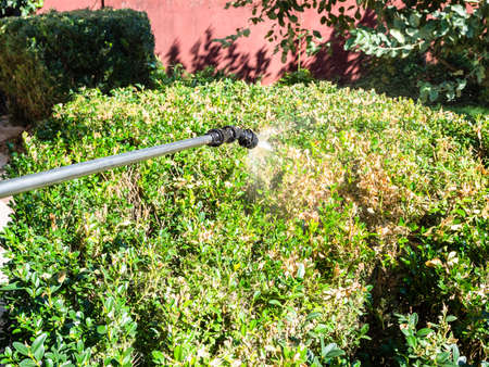 spraying diseased green hedge with pesticide in yard of village house