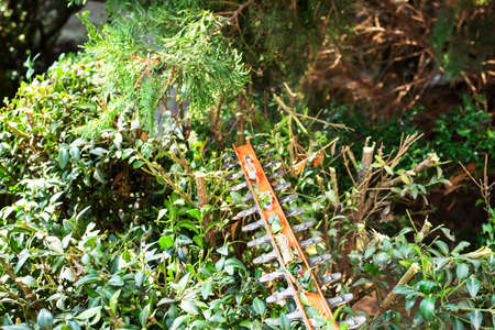 blade of electric hedge trimmer cuts green boxwood on sunny summer day Stok Fotoğraf