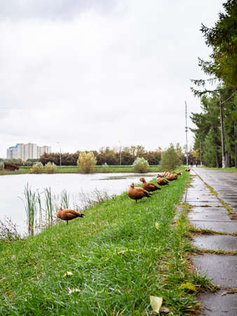 row of red ducks on bank of city pond in rainy autumn day Stok Fotoğraf