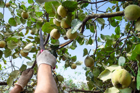 worker saws a quince tree branch with a hand saw in home garden on sunny day
