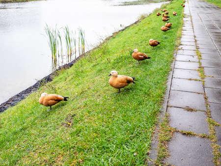 line of ruddy shelduck on bank of city pond in rainy autumn day Stok Fotoğraf