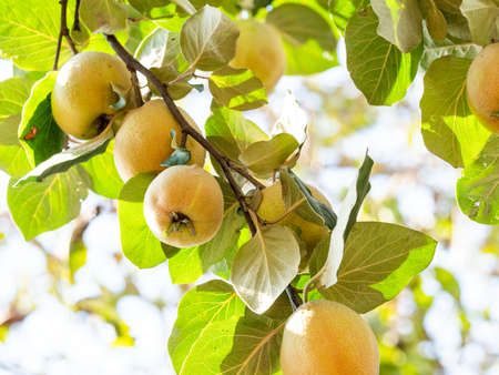 many yellow quince fruits on tree twig close up on sunny autumn day Stok Fotoğraf