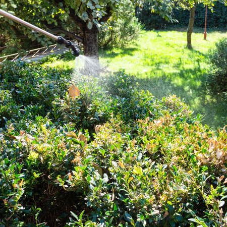 spraying diseased boxwood twigs with pesticide in backyard of village house