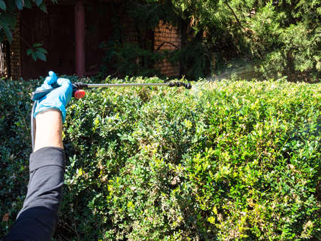 spraying surface of boxwood hedge with pesticide using pneumatic garden sprayer in yard of village house Stok Fotoğraf